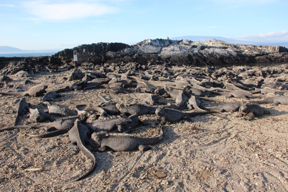 Marine iguanas everywhere